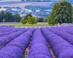 Os campos de Lavanda na região de Provença