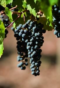 Revista J.P seleciona 12 vinhos chilenos que valem a degustação