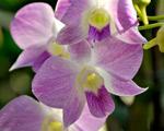 Elegância em forma de flor: começa na sexta a 88ª exposição de orquídeas
