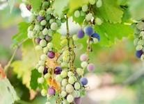 Mônaco ganha seu primeiro vinho nacional. Os detalhes aqui