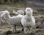 Governo do Peru está determinado a fazer pele de alpaca virar hit em NY