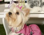 Com smoking e tafetá, nasce primeira alfaiataria para dogs em SP