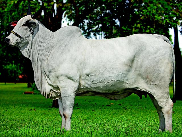 Nelore Grendene arma terceira edição do maior leilão de touros do ... e84f457ce12