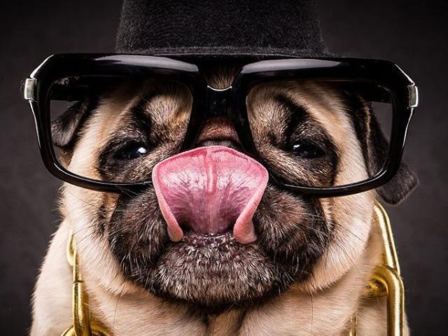 """Yo! Cachorrinhos pug mostrando o lado fofo da """"vida bandida"""""""