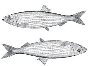 Peixe Trilha tem sabor e textura parecidos com os do camarão. Às receitas!