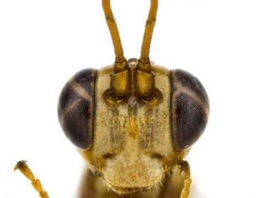 Nova espécie de vespa descoberta na Nova Zelândia ganhanome de vilão da série Harry Potter