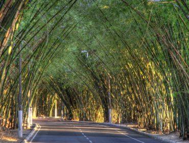 Polêmica: parte do bambuzal do aeroporto de Salvador será retirada para obras do metrô