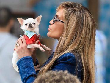 Conheça Manhattan, a chihuahua que está conseguindo ofuscar ninguém menos que J-Lo