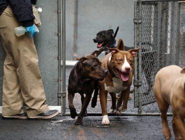 Pandemia faz desaparecer cãezinhos para adoção em Nova York. Entenda essa história!