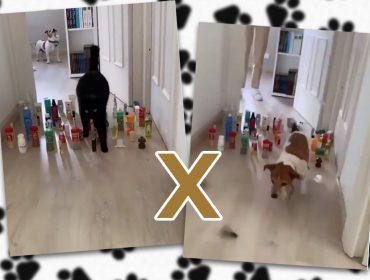 Desafio entre cães e gatos é a nova mania da quarentena e já viralizou na internet. Confira aqui!