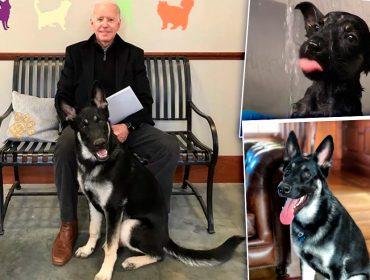 Conheça a emocionante história de Major, cão do presidente eleito dos EUA, Joe Biden, que será o primeiro animal adotado a viver na Casa Branca