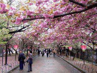Conheça as curiosidades em torno da floração das cerejeiras, que acontece agora no Japão e cria cenários de contos de fadas